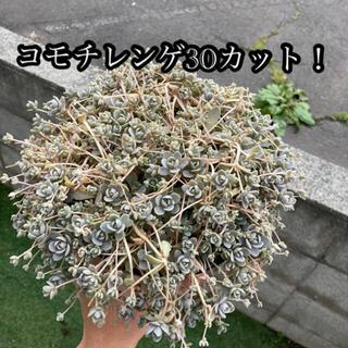 多肉植物 子持ち蓮華 30カット 寄せ植えにも♪(その他)
