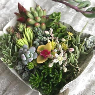 多肉植物 セダム カット苗 詰め合わせ(その他)