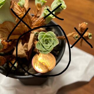 多肉植物 ドドランタリス カット苗(その他)