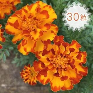 30粒◆種 マリーゴールド 華やかな八重咲き 黄色×オレンジ・橙系 2色咲き(その他)