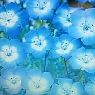 花の種       ネモフィラブルー+おまけ(その他)