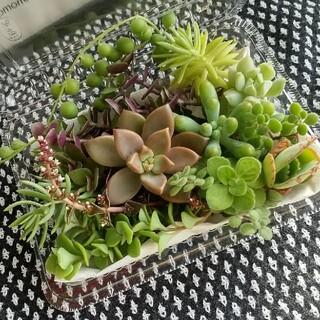 多肉植物 カット苗aブロンズ姫 クラウド 乙女心(その他)