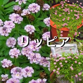 ヒメイワダレソウリッピア【抜き苗50g】宿根草(その他)