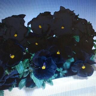 花の種       パンジーブラックプリンス+おまけ(その他)