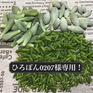多肉植物 葉挿し用 ひろぽん0207様専用!!(その他)