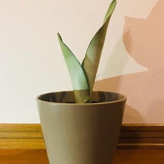 サンスベリア シルバーキング 観葉植物(その他)