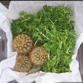 多肉植物 子サボテン & セダム(プランター)
