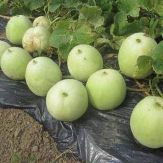 無農薬栽培 甘い芳香、美味しいマクワウリ 種 35粒(野菜)