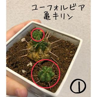 【たき様専用】ユーフォルビア 亀キリン(その他)