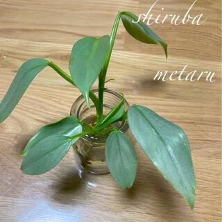 観葉植物 フィロデンドロン・シルバーメタル 2本(その他)