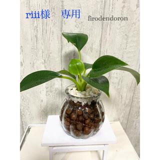 フィロデンドロン 観葉植物 ハイドロカルチャー(ドライフラワー)