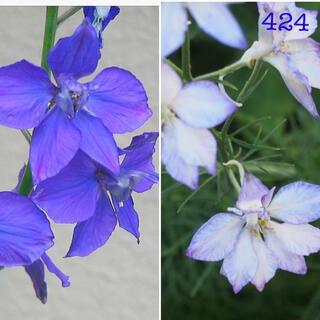 424   チドリソウ/ラックスパー/ヒエンソウ 青花・白花 種150粒ずつ(その他)