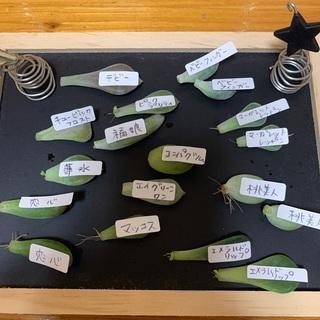 多肉植物葉挿し色々♪セット(ベビーフィンガー入り)葉挿し増量❗️おまとめ割引あり(その他)