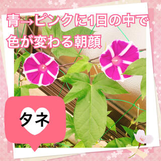 あさがお 朝顔の種 色が青からピンクに変わる2020年秋産(その他)