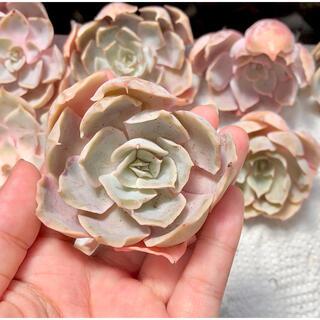 ホワイトシーウェーブ 多肉植物 韓国苗(その他)