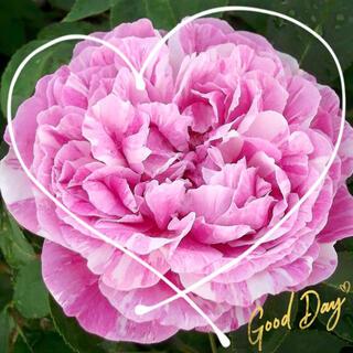 ◆淡いライラックピンクに白い絞りのORバラ苗挿し木用『挿し穂』2本(9月上旬まで(その他)