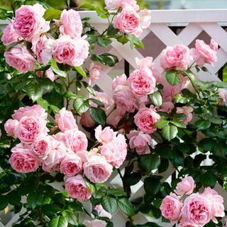 ◆優雅に咲き誇るラベンダーピンクのFRバラ苗用『挿し穂』2本セット(9月上旬まで(その他)