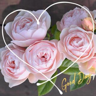 ◆フレンチシック♪クリームピンクのカップ咲きバラ苗用『挿し穂』2本(9月上旬まで(その他)