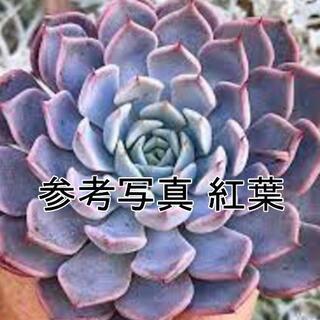大輪または子付き!ピンクザラゴーサ1株 韓国苗 エケベリア(その他)