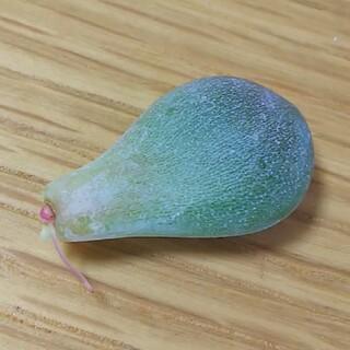 専用♥国産だるまピンクシフォン 葉挿し 多肉植物(その他)