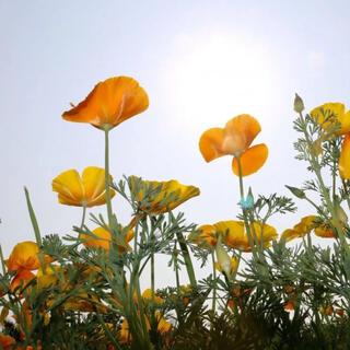 ハナビシソウ(花菱草)の花色(黄、オレンジ、クリーム)ミックスの種50粒(その他)