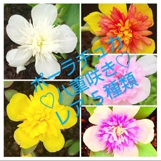 ポーチュラカ 八重咲き レアカット苗 5種類 (プランター)