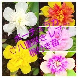 ポーチュラカ 八重咲き レア根付き苗 5種類 (プランター)