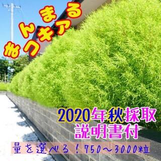 ぴーたん様専用!コキア種 コキア 種 ☆31(プランター)