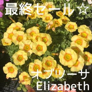 ☆残わずか☆値下げ☆オキザリス オブツーサ Elizabeth 球根 6個(プランター)