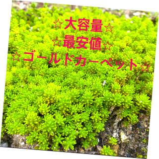 ⭐︎★⭐︎  セダム 多肉植物 ⭐︎★⭐︎(その他)