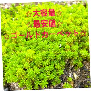 ⭐︎★⭐︎ セダム多肉植物 ⭐︎★(その他)
