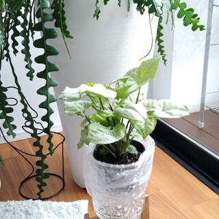 シンゴニウム ホワイトバタフライ 苗 観葉植物 寄せ植え(その他)