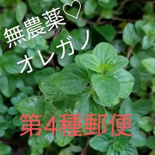 無農薬♡オレガノ カット苗 ハーブ(プランター)