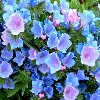 長~く咲く青い花 エキウムブルーベッダー(ブルガレ)種子ブルーガーデンに♪レア(その他)