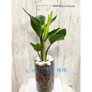 ザミオクルカス 観葉植物 ハイドロカルチャー(ドライフラワー)