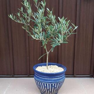 大きめ♪オリーブの木 ネバディロブランコ 鉢植え 観葉植物 苗 苗木(プランター)