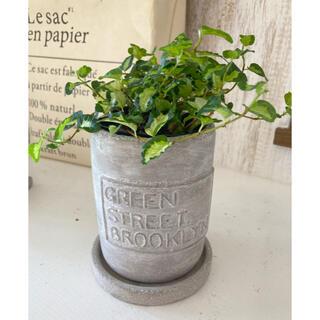 観葉植物 プミラ 鉢 陶器ポット ガーデニング ロングポット そのまま飾れます(プランター)