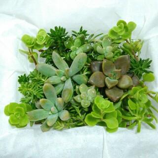1パック300円【送料無料】多肉植物 カット苗 セダム 寄せ植えにも(その他)