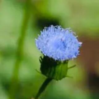 花の種 カカリア ブルーマジック 種子(その他)