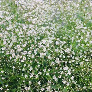 ホワイトかすみ草の種50粒(その他)