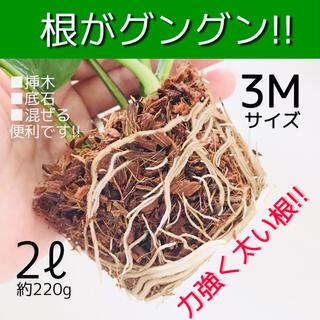 あく抜きヤシの実(3M)■ポトス 薔薇 モンステラ 斑入り マドカズラ 蘭等に!(その他)