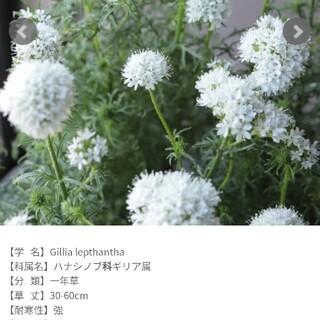 ギリアレプタンサホワイトの種50粒以上(その他)