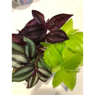 観葉植物 トラデスカンチア3種7本セット(その他)
