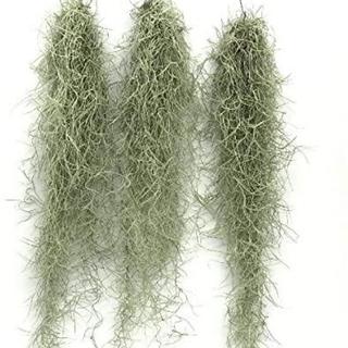 生花 スパニッシュモス チランジア エアプランツ 観葉植物(その他)