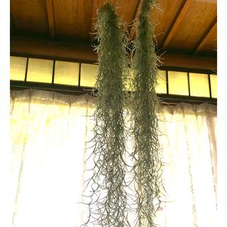生花 チランジア スパニッシュモス エアプランツ 観葉植物(その他)