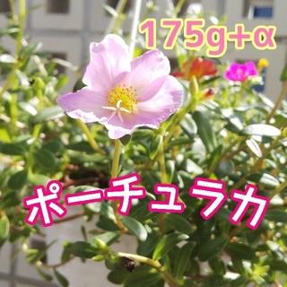 たっぷり175g+α!ポーチュラカ カット苗パック(その他)