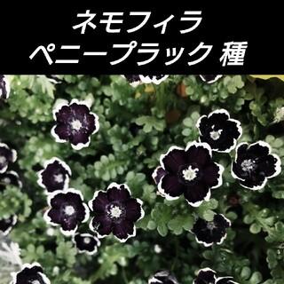ネモフィラ ペニーブラック種120粒(その他)