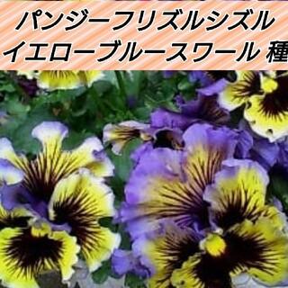 パンジー フリズルシズル イエローブルースワール (F1) 種15粒(その他)