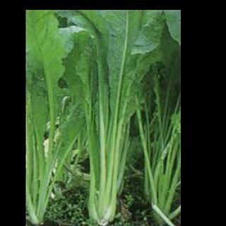 野沢菜の種 200粒以上(野菜)