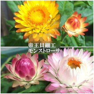 秋まき 花の種 帝王貝細工(モンストローサ混合)50粒 一年草 ドライフラワー(その他)